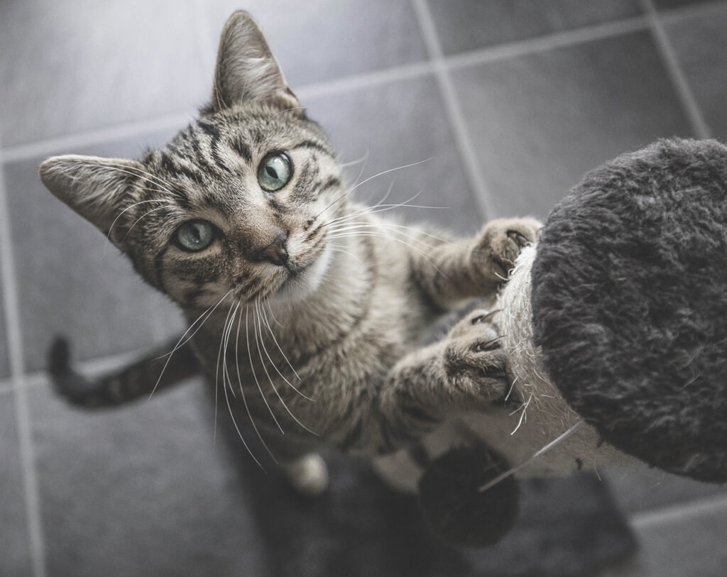 Declawing a cat to prevent damage should not be a consideration. It is a surgery that can cause ongoing health problems. Nail caps can be used as a safe alternative.