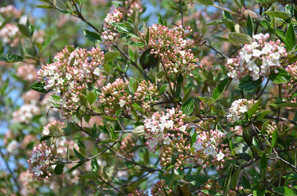 An arrowwood shrub in late spring, with pink buds about to turn into white flowers.