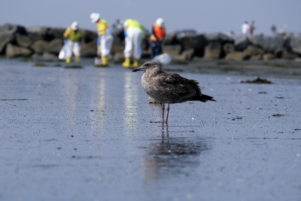 A seagull rests as workers clean the contaminated beach Wednesday after an oil spill in Newport Beach, Calif.
