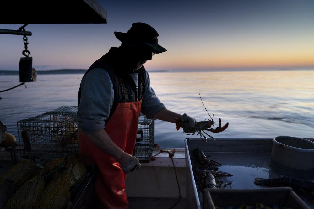 Max Oliver moves a lobster to the banding table aboard his boat while fishing off Spruce Head in August. Prices for Maine's most beloved export are much higher than typical right now because of high demand and the possibility that fishermen are having a slower season. (AP Photo/Robert F. Bukaty)